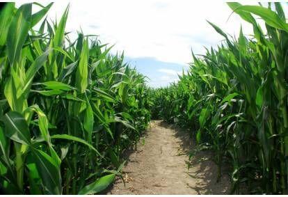 Kukurūzų kaimo pramogos ir klaidžiojimas po kukurūzų labirintą