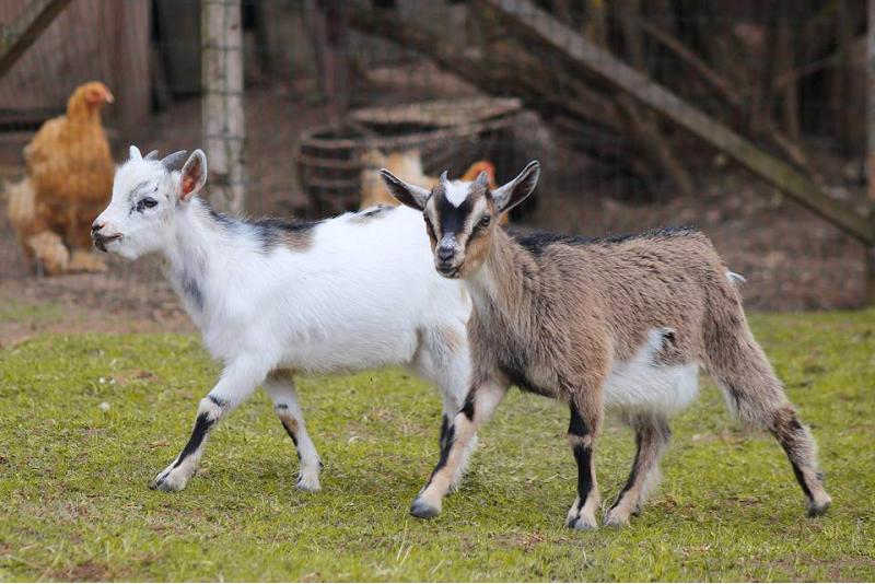 Apsilankymas Mini ZOO Gaja zoologijos sode ir pietūs šeimai