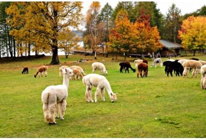 Ekskursiją į alpakų ūkį + Aj Šokolado muziejus ir šokolado fondiu