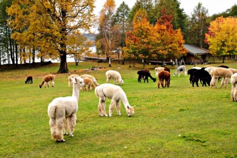 Ekskursija į alpakų ūkį + AJ šokolado muziejus ir šokolado fondiu Trakuose
