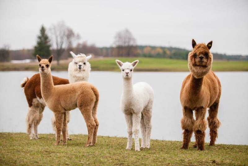 Nakvynė šeimai su apsilankymu Mini Zoo ir vakariene Dubingių žirgyne