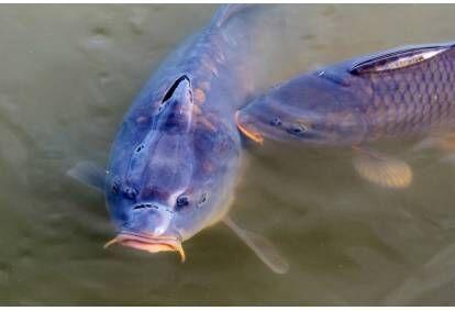 """Žvejyba ir laimikio paruošimas sodyboje """"Karpynė"""""""